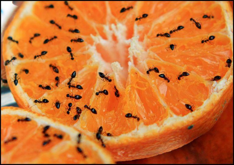 Ants on an orange.
