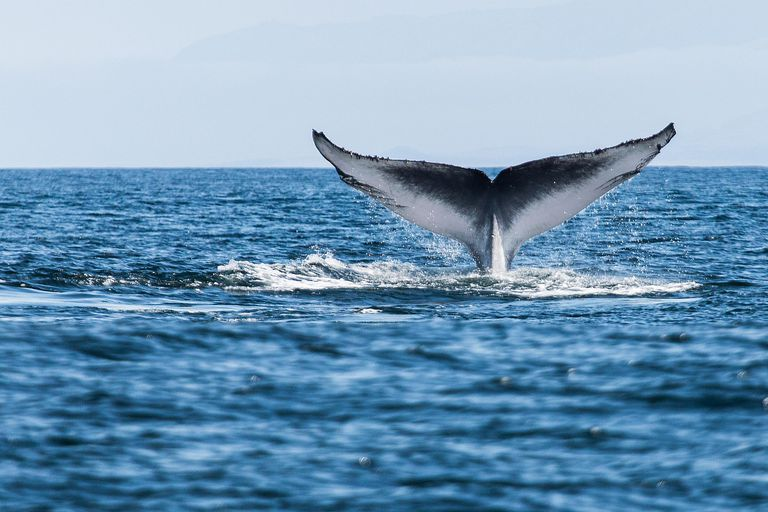 The fluke of the biggest animal in the world - the blue whale