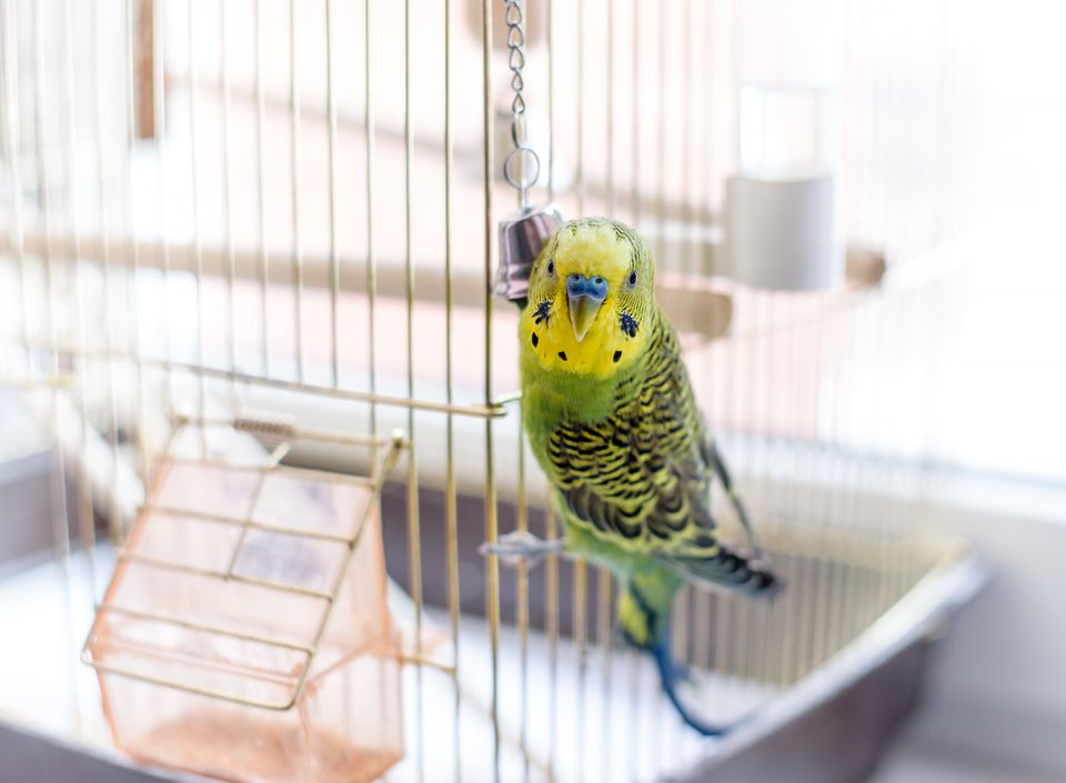 Budgerigar close up on the bird cage. Budgie and bell