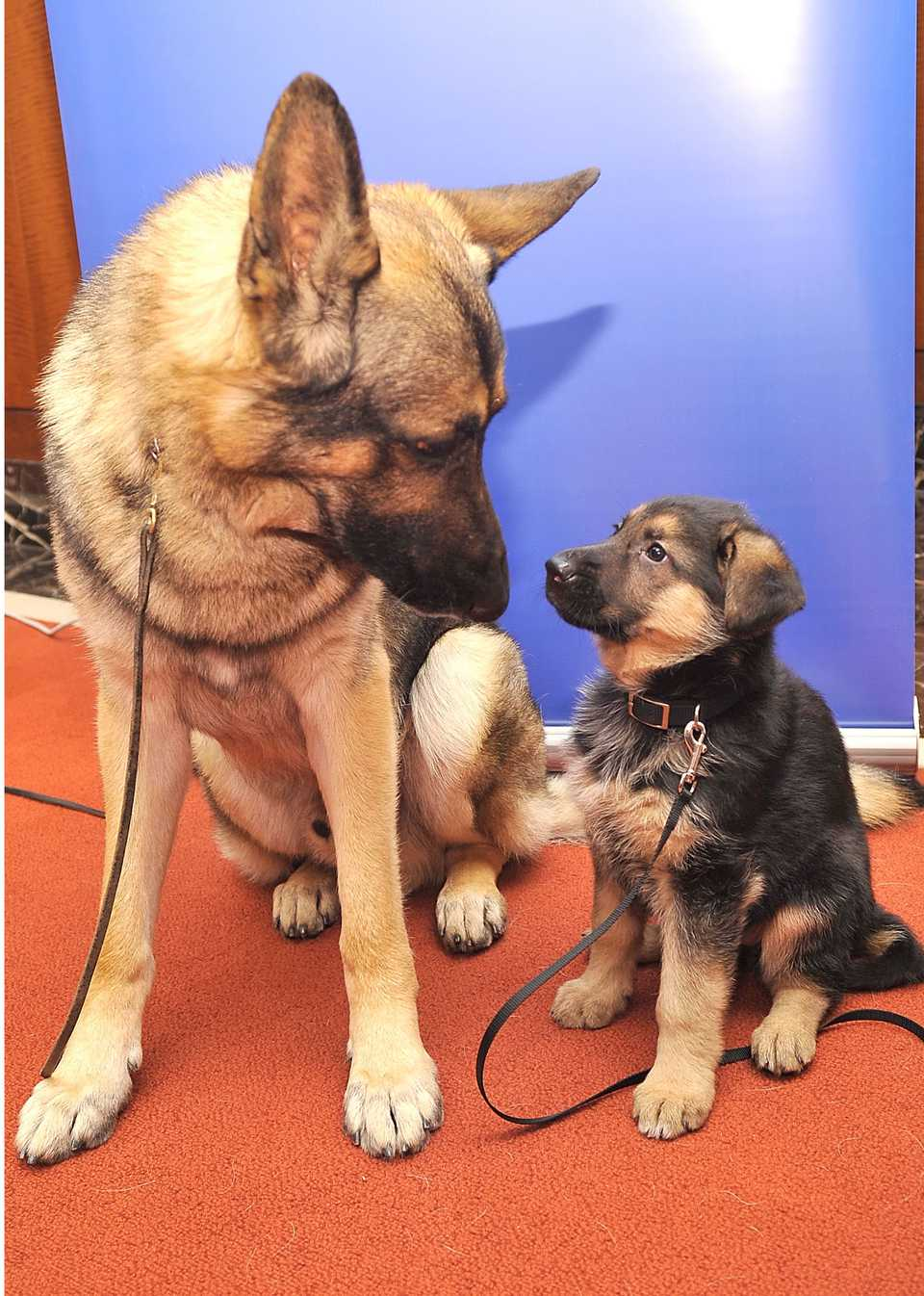 German Shepherd with a pup