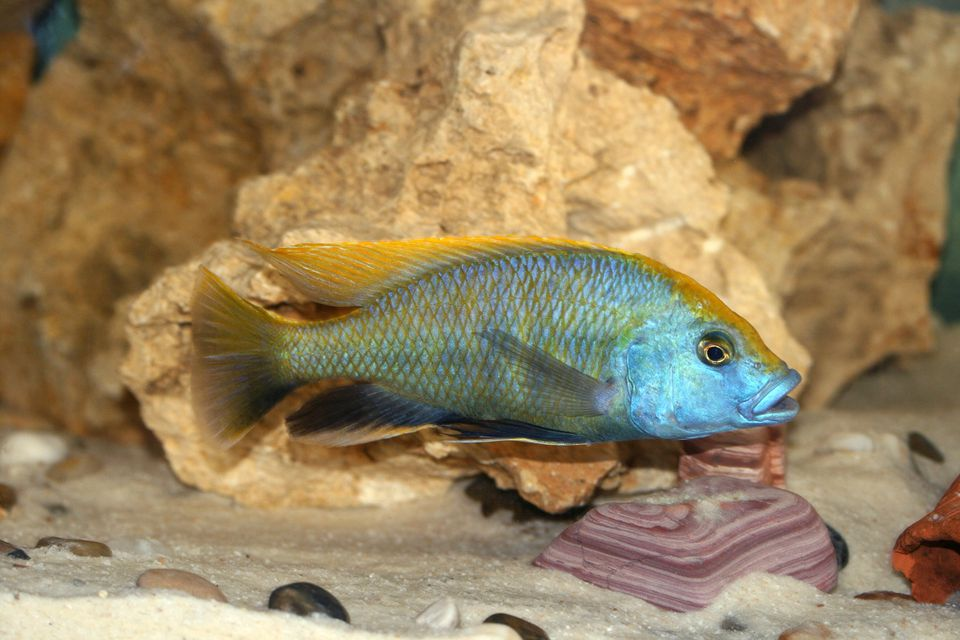 Venustus fish