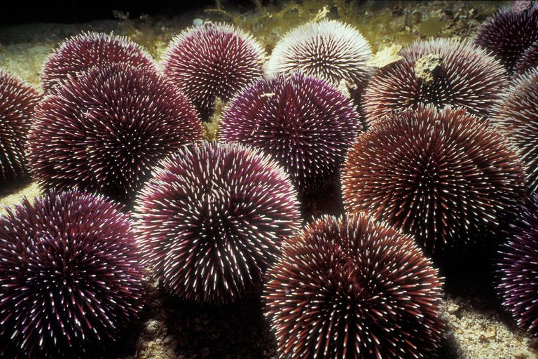 Purple Sea Urchin, Sphaerechinus granulari