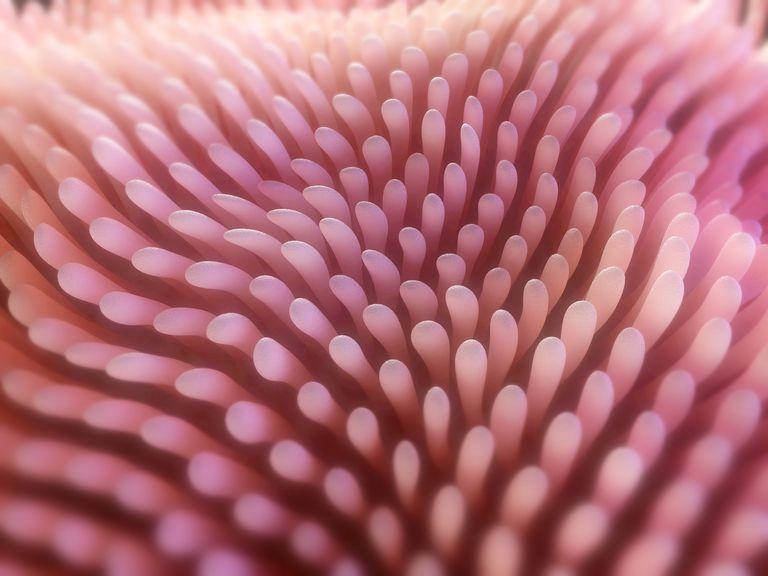intestinal villi