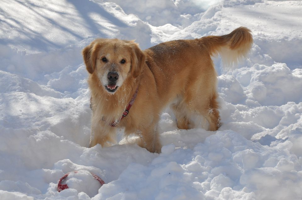 Photo of Golden Retriever in Snow