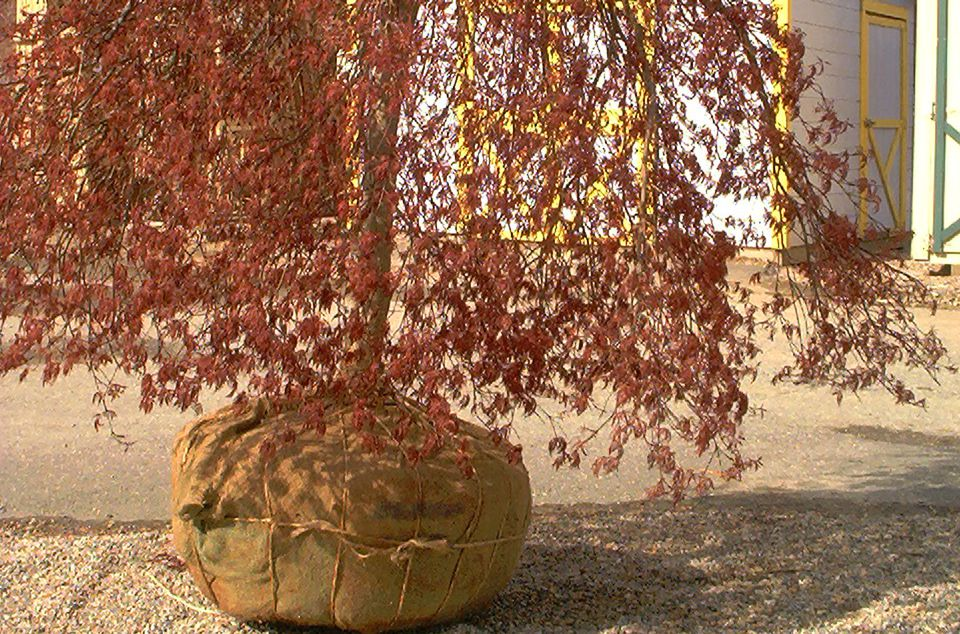 Image of a balled-and-burlapped tree.