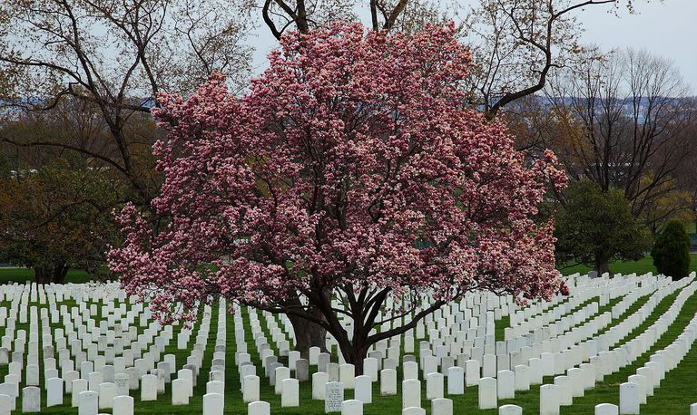 flowering magnolia tree at the arlington cemetery