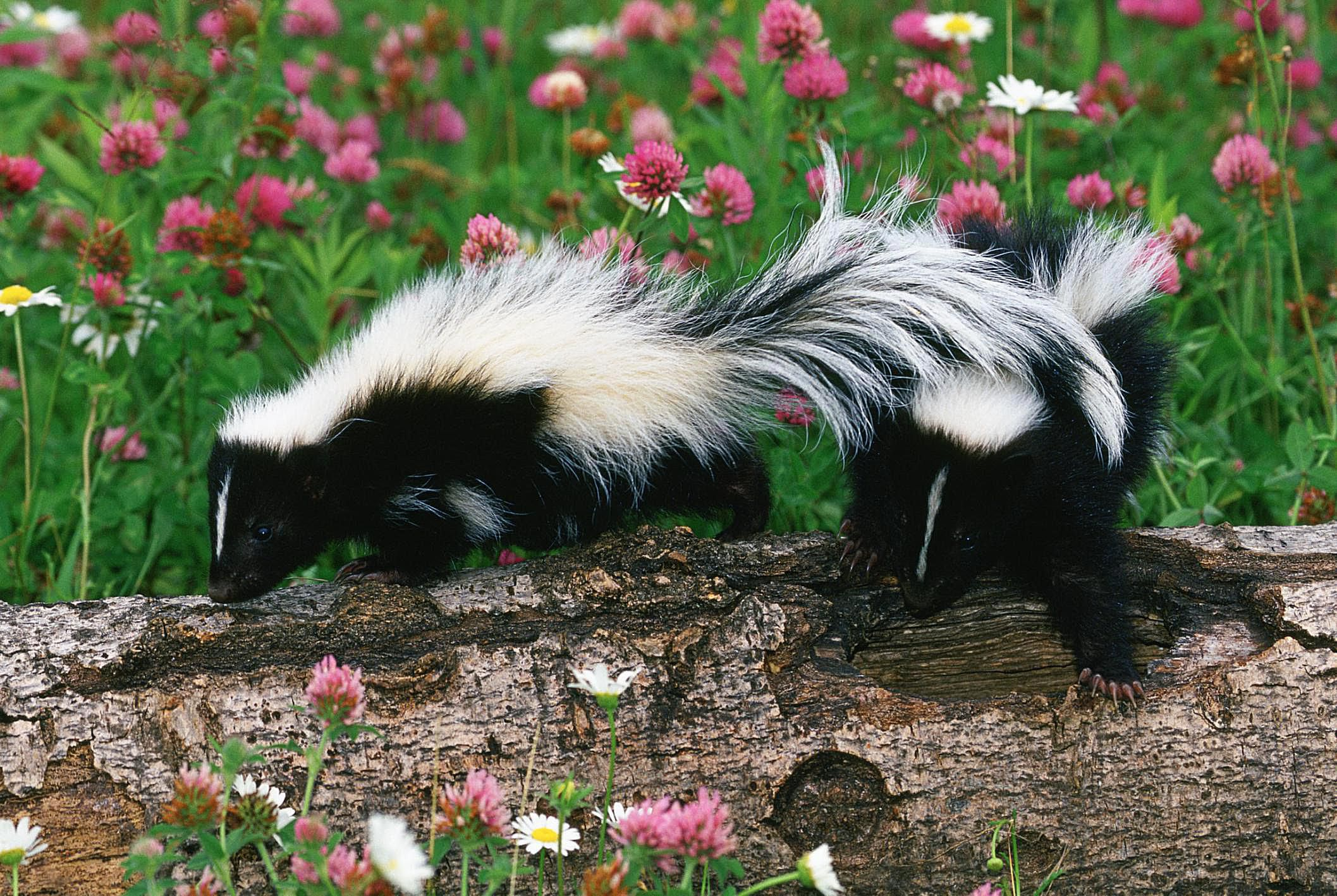 skunk control and prevention. Black Bedroom Furniture Sets. Home Design Ideas