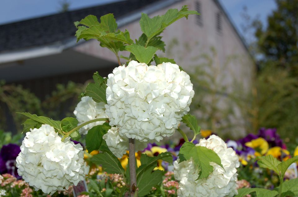 Snowball Bushes Information On Popular Viburnum Shrubs