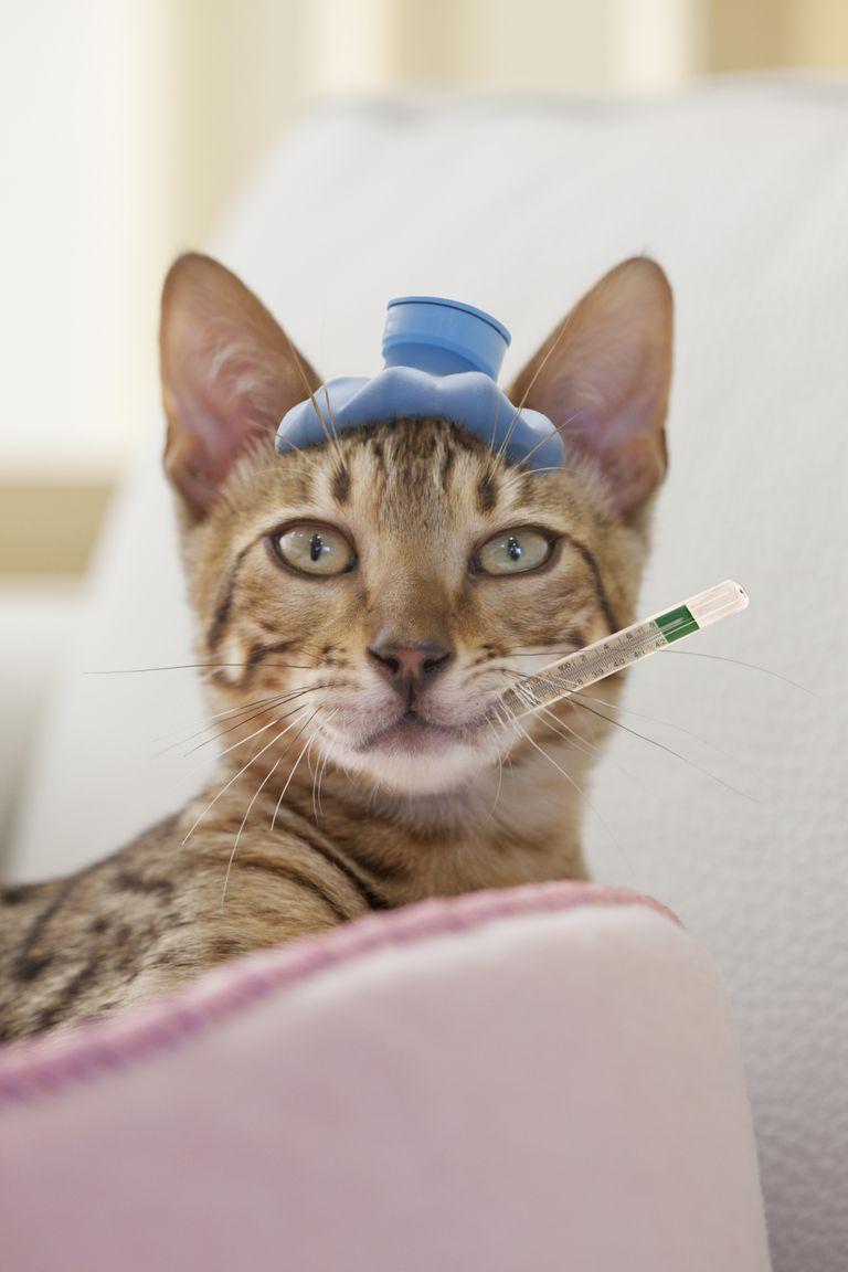 Sick bengal cat
