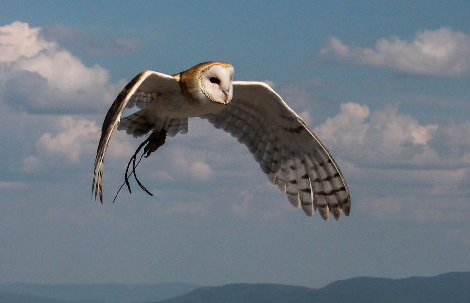 Owl in flight at Mont-Tremblant