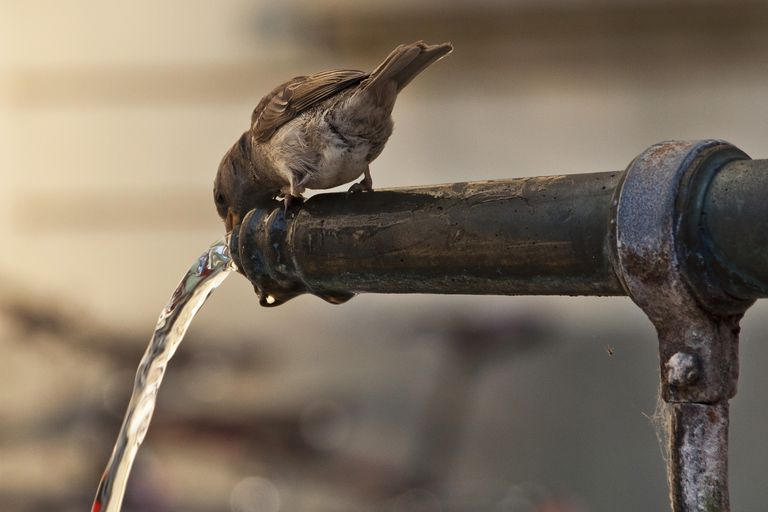 bird drinking out of faucet