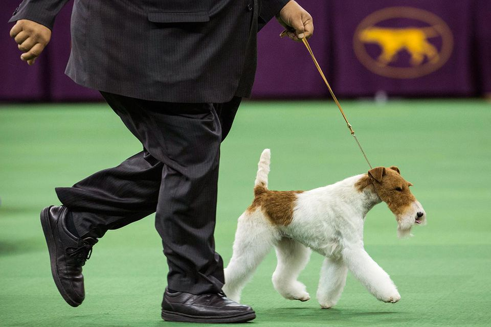NEW YORK, NY - FEBRUARY 11: Sky, a Wire Fox Terrier, competes with her handler, Gabriel Rangel, in the Best in Show category in the Westminster Dog Show on February 11, 2014 in New York City.