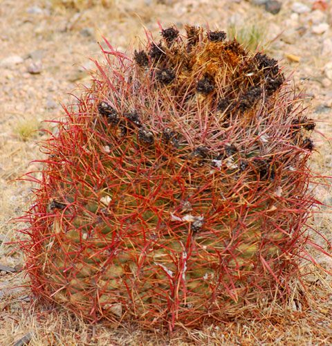 Barrel cactus picture. This photo shows one of the types of barrel cactus.