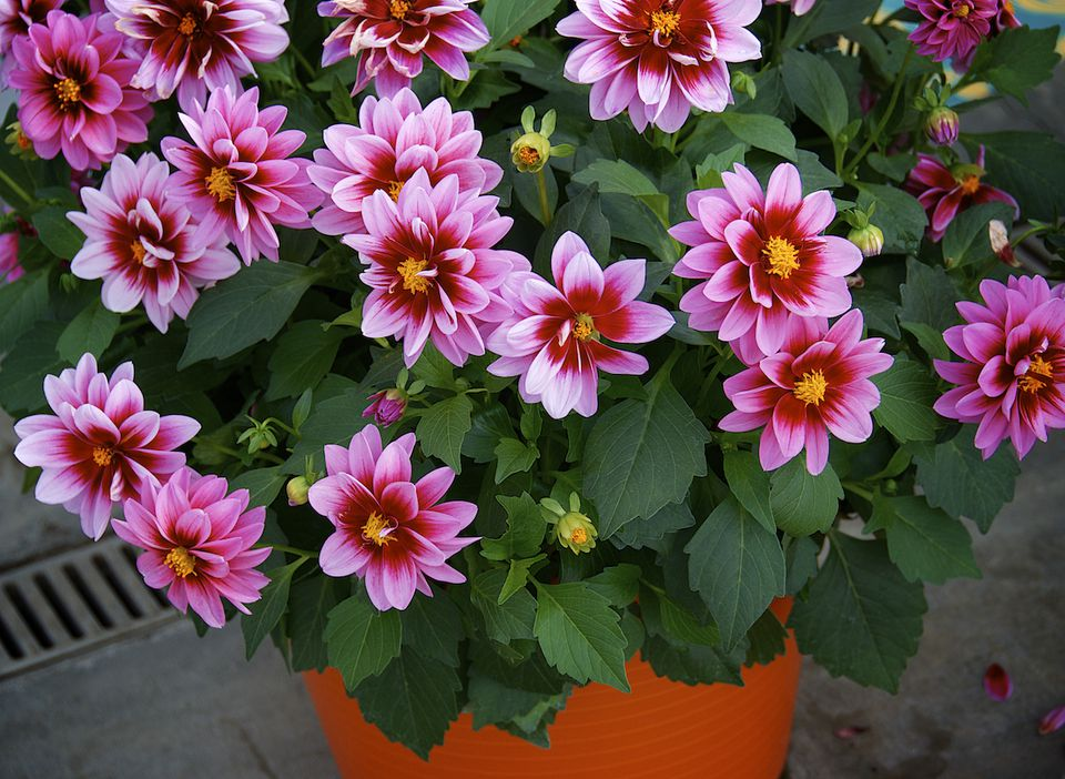 Potted Dahlias