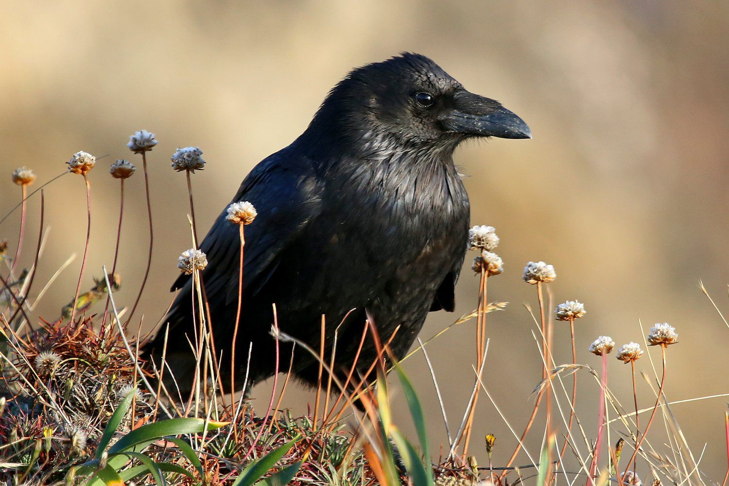 Raven Vs Crow Learn To Identify Both