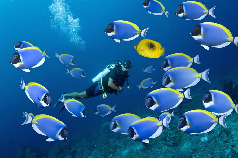 Scuba diver with blue tropical surgeon fish.