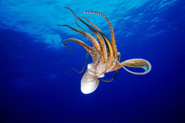 Octopus (Octopus cyanea), Hawaii / Fleetham Dave / Perspectives / Getty Images