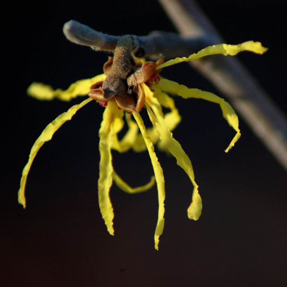 Witch hazel flower closeup.