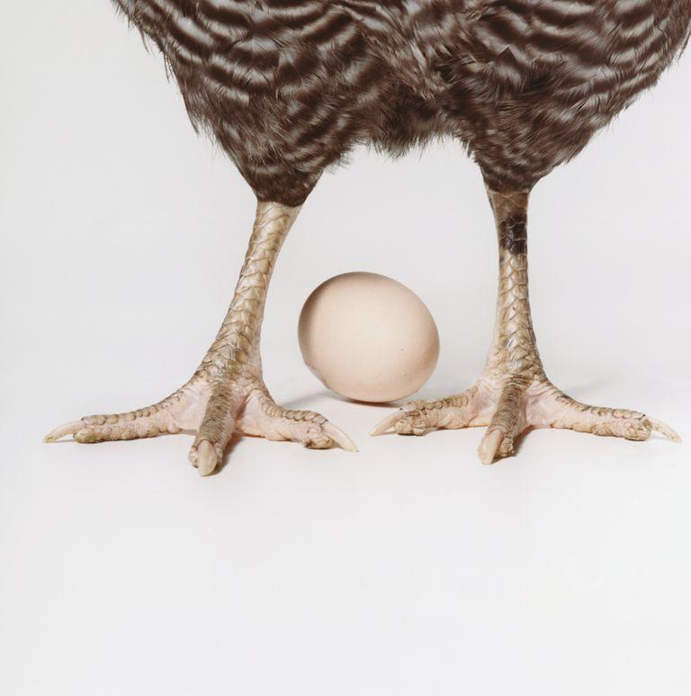 ¿Cómo ponen huevos las gallinas?