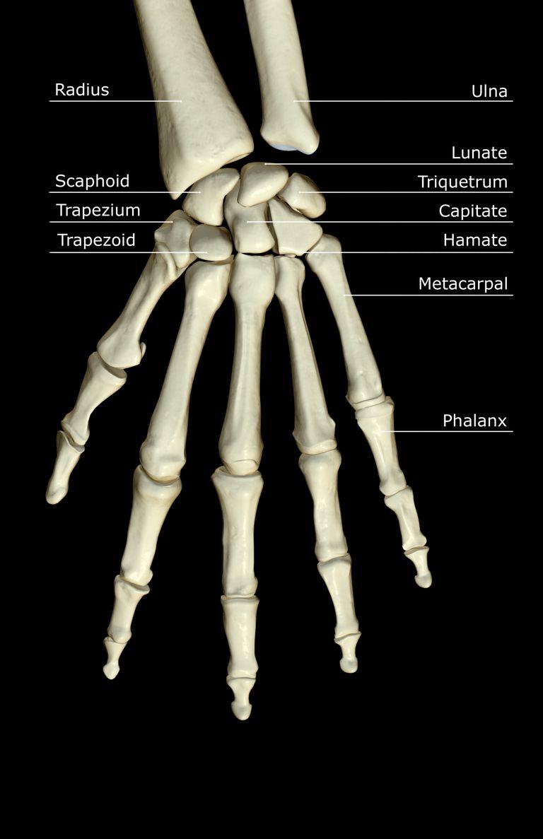 carpal bones hand wrist