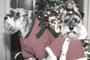 Dogs wearing Christmas outfits