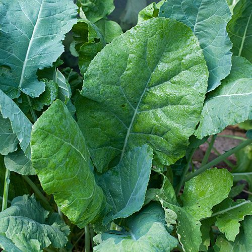 How to Grow Collards