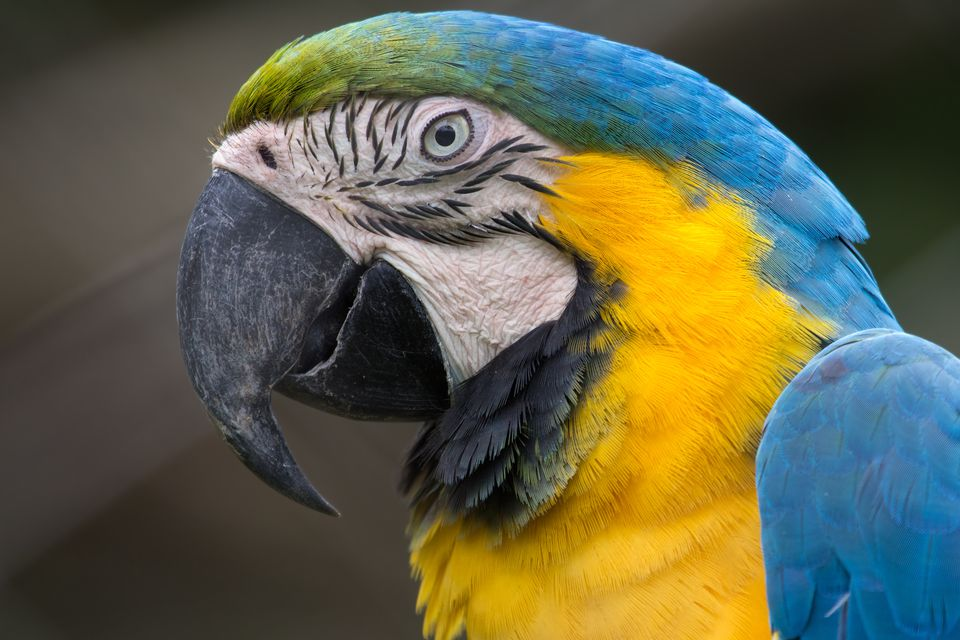 Blue-and-yellow Macaw Head