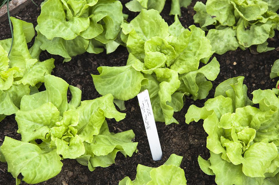 Rows of growing lettuce
