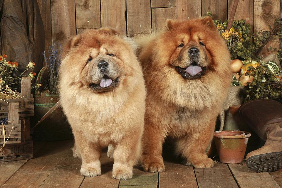 Chow Chows (Canis lupus familiaris) in garden setting, UK