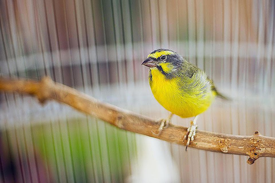 Green singing finch in cage.