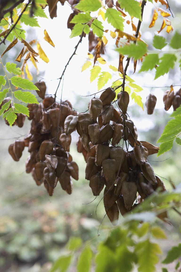 Golden-rain Tree Fruit Capsules (Koelreute...