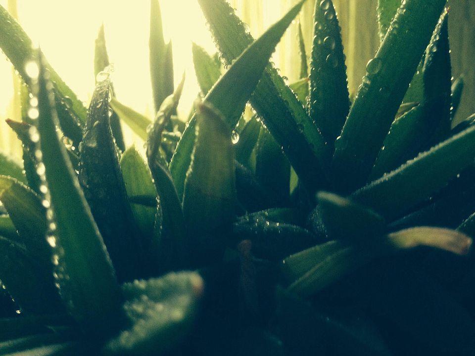 Close-Up View Of Aloe Vera Plant