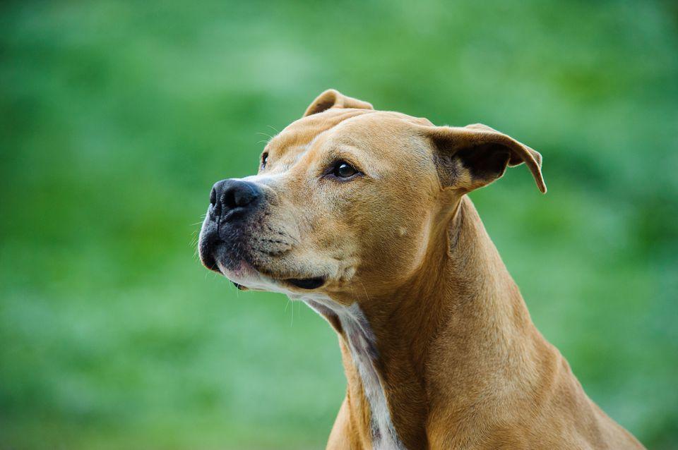 American Pit Bull Terrier Looking Away