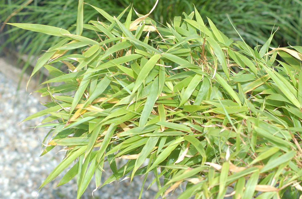 Image of Fargesia 'Rufa,' a clumping bamboo.