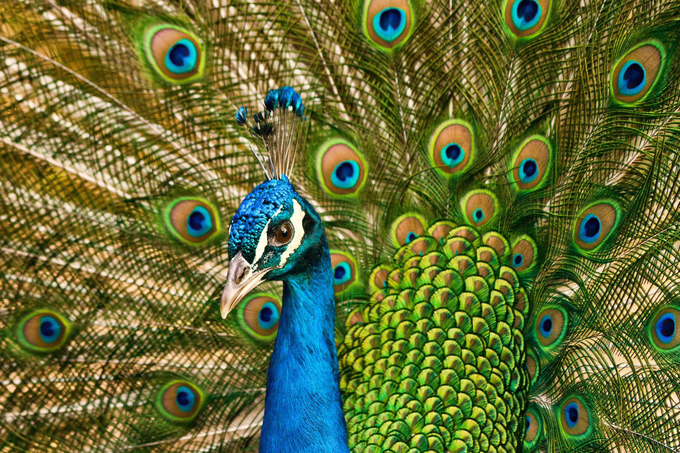 What does a pheasant symbolize gallery symbols and meanings what does a pheasant symbolize gallery symbols and meanings what does a pheasant symbolize choice image biocorpaavc Choice Image