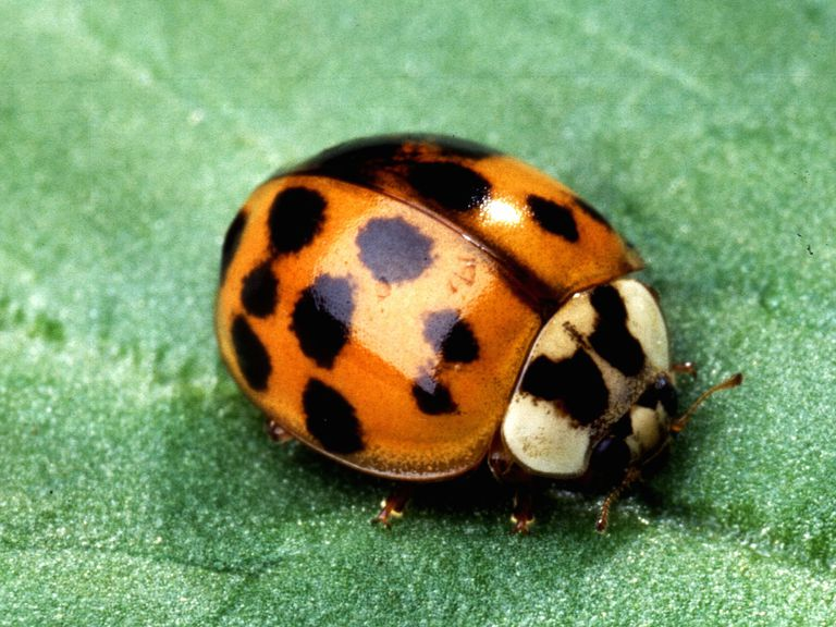 The Asian multicolored lady beetle is an exotic, invasive species in North America.
