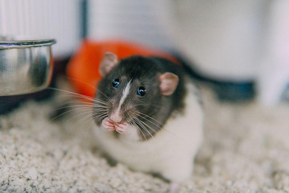 Hooded dumbo fancy rat eating