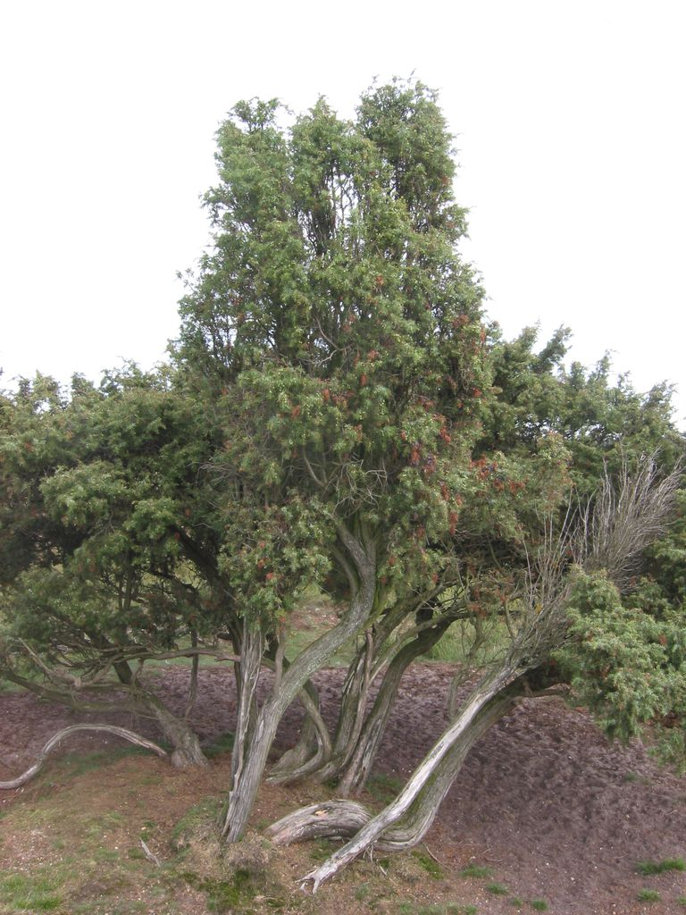 Common Juniper Trees In North America