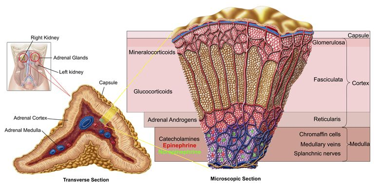 Anatomy of adrenal gland
