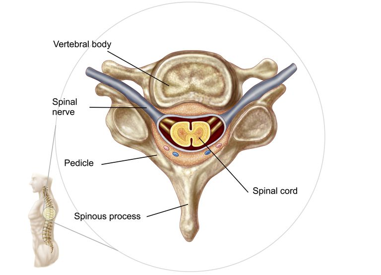 Anatomy of human vertebrae