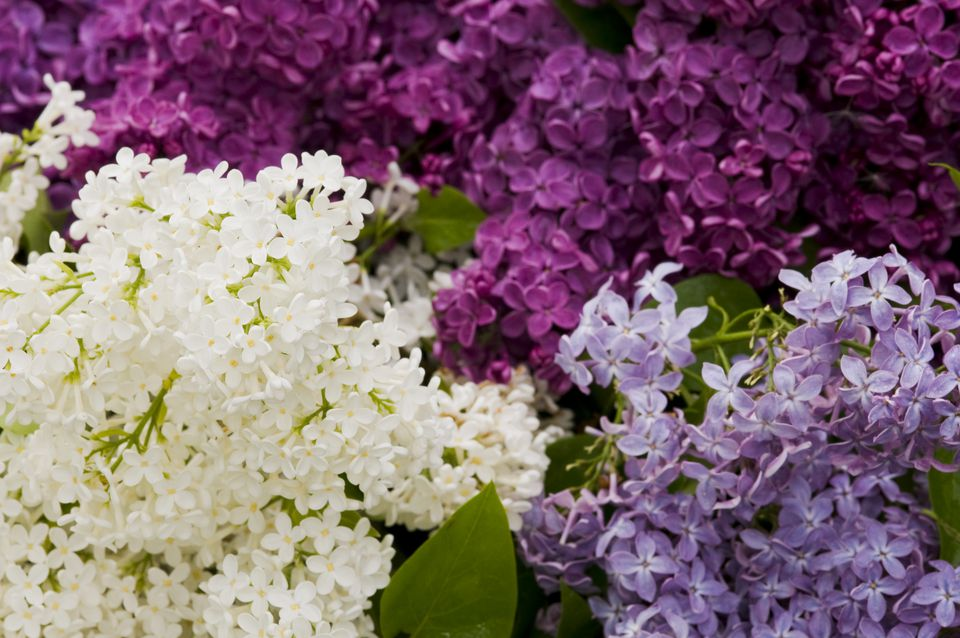 Mixed Lilac Varieties