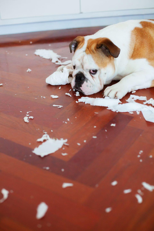 Dog lying amongst shredded lavatory paper on bathroom floor