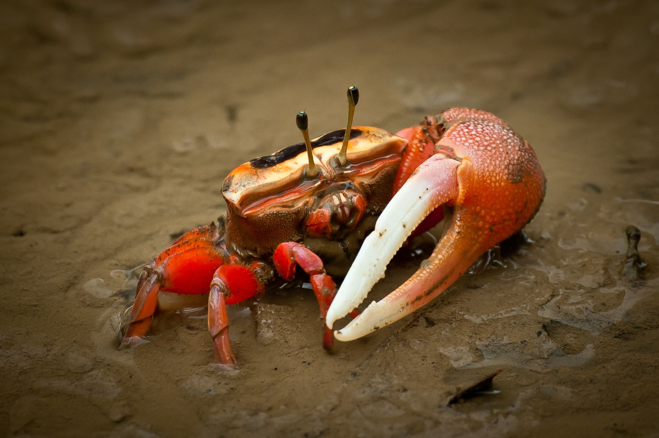 Keeping Fiddler Crabs As Pets