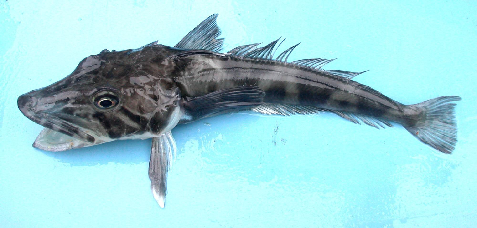 Antarctic Icefish Characteristics and Facts