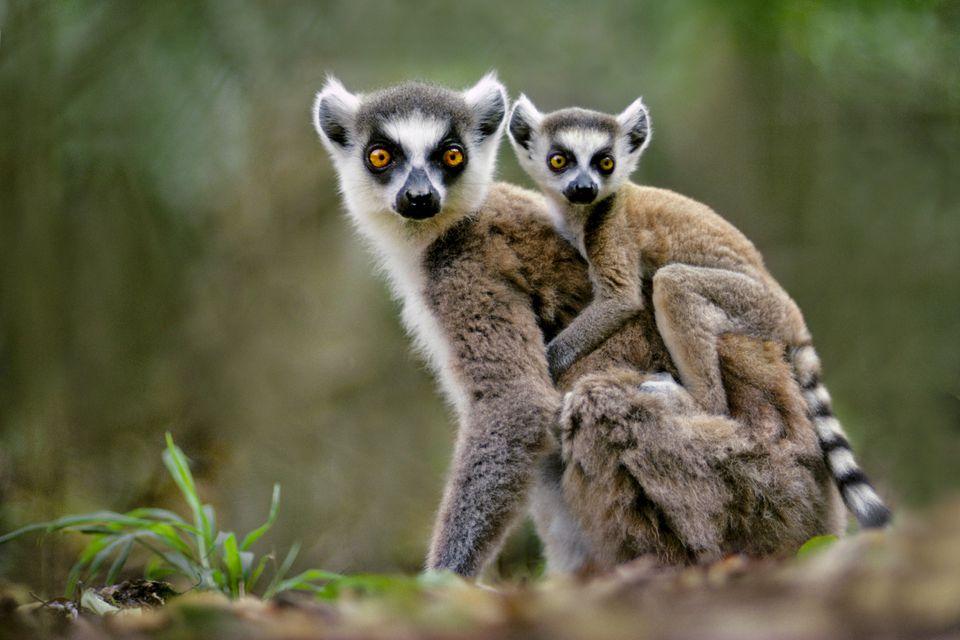 Ring-tailed lemur with baby, Lemur catta, Berenty Reserve, Madagascar
