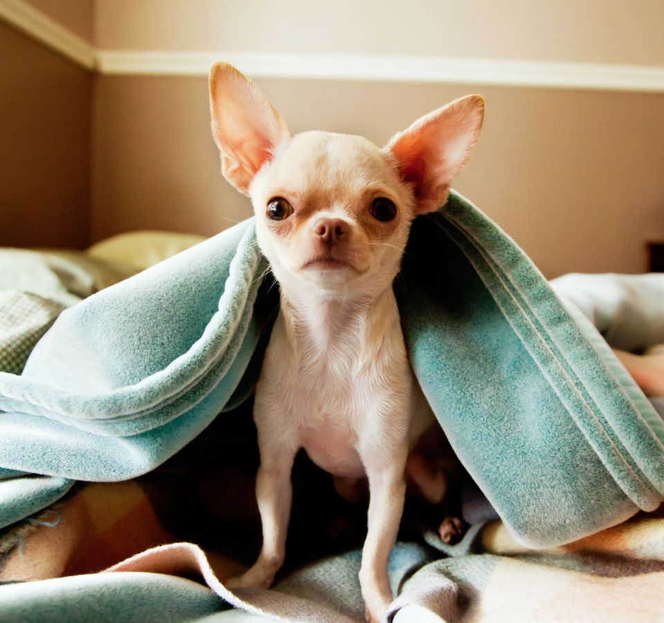 Cute little Chihuahua looks at camera from under blankets