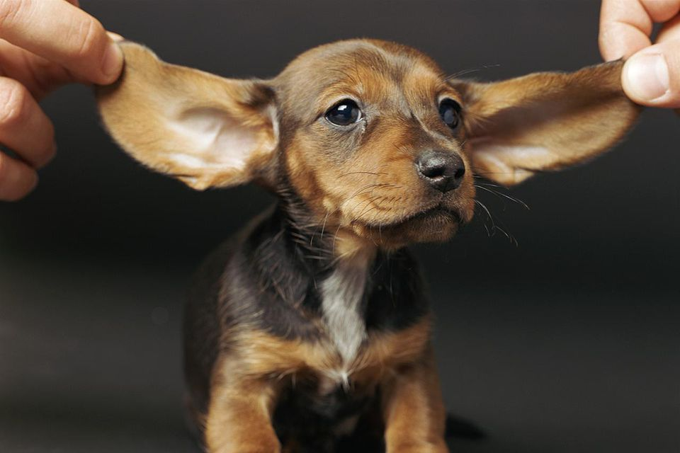 Natural Remedies For Mites In Dogs Ears