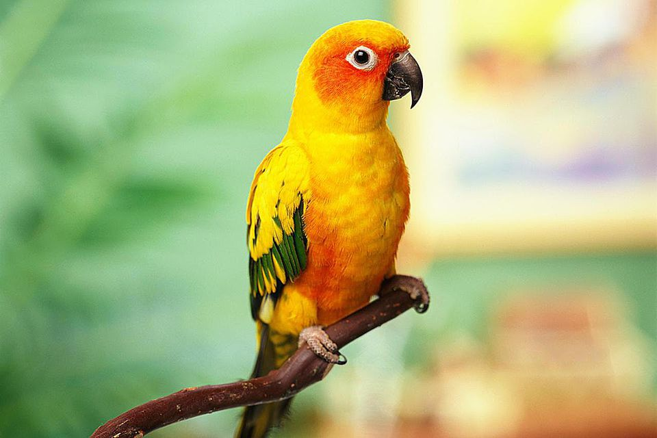 Sun conure on perch in home environment