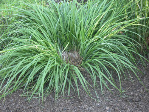 The dead center of this ornamental grass is a dead giveaway that it needs to be divided.