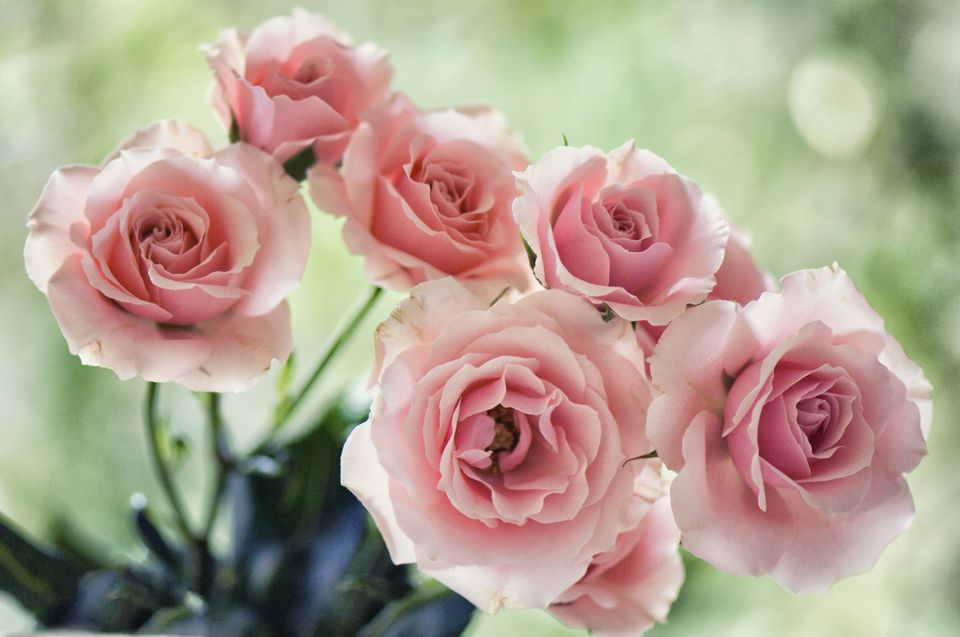 Florists Soft Pink Spray Rose 'Majolica'